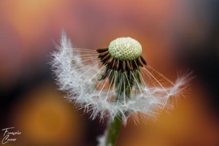 Photo macro fleur de pissenlit