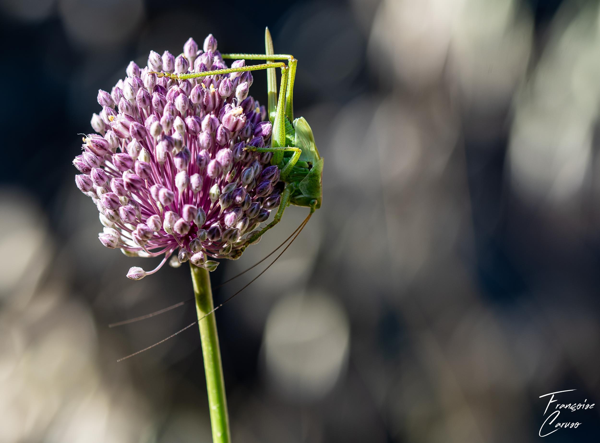 photo macro sauterelle