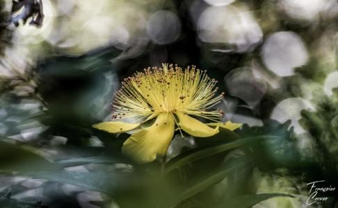 Millepertuis Photo macro