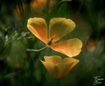 Photo macro Fleur - Echoltzia