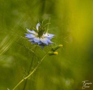 Photo macro Nigelle