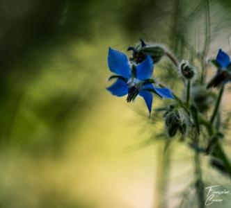 Bourrache fleur Photo macro