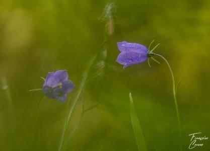 Campanule Macro Fleur