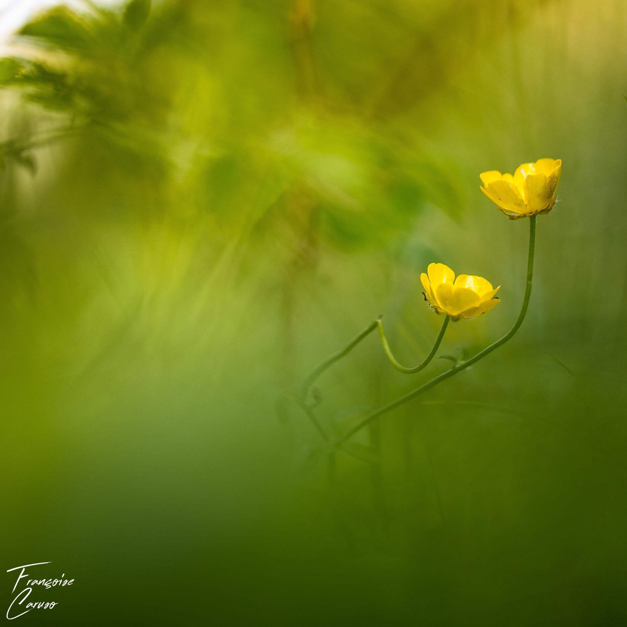 Bouton d'or Photo fleur