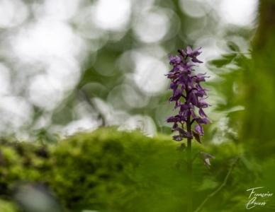 Orphrys mascula Photo fleur
