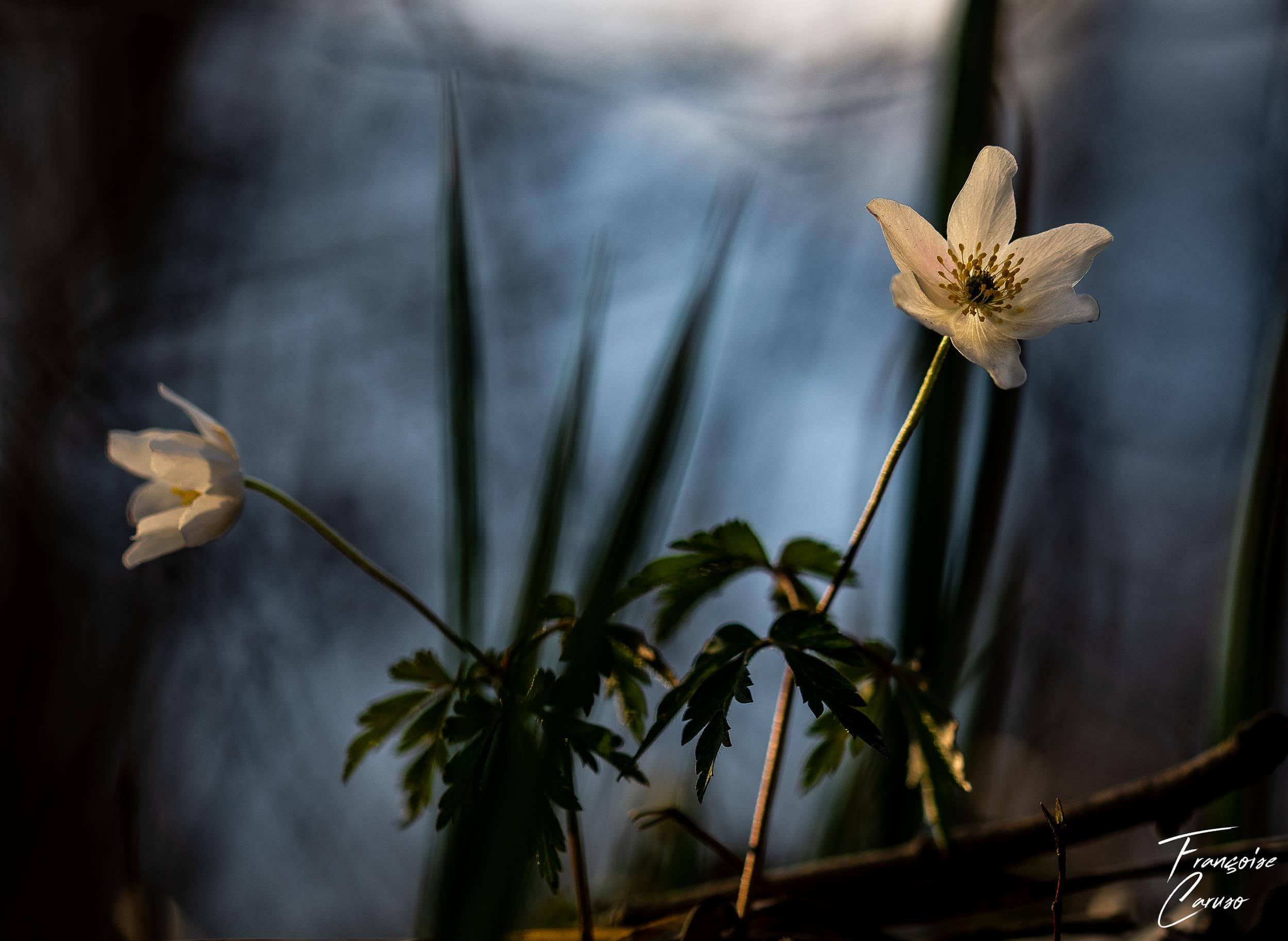 Anemone des bois photo macro
