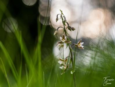 Epipactis des Marais - photo