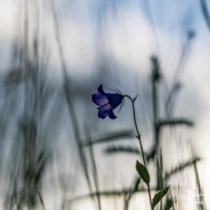Macro fleur Campanule