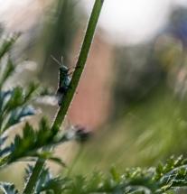 Sauterelle macro photo