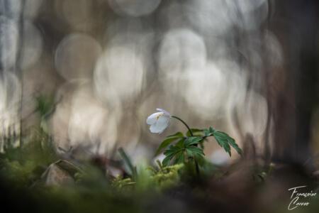 Photo Anémone des bois