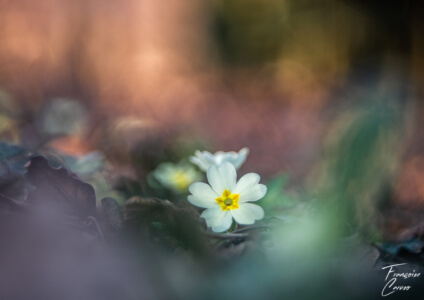 Photo de fleur - primevère sauvage