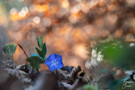 Macro fleur - Pervenche