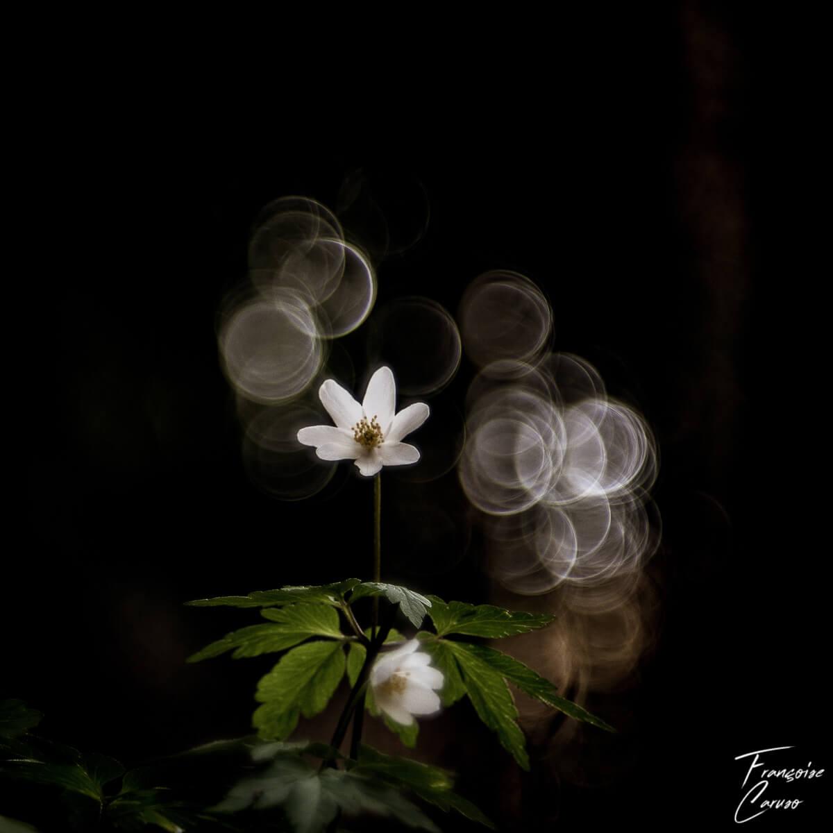 Macro fleur - Anémone des bois